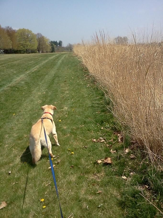 Butterscotch walking