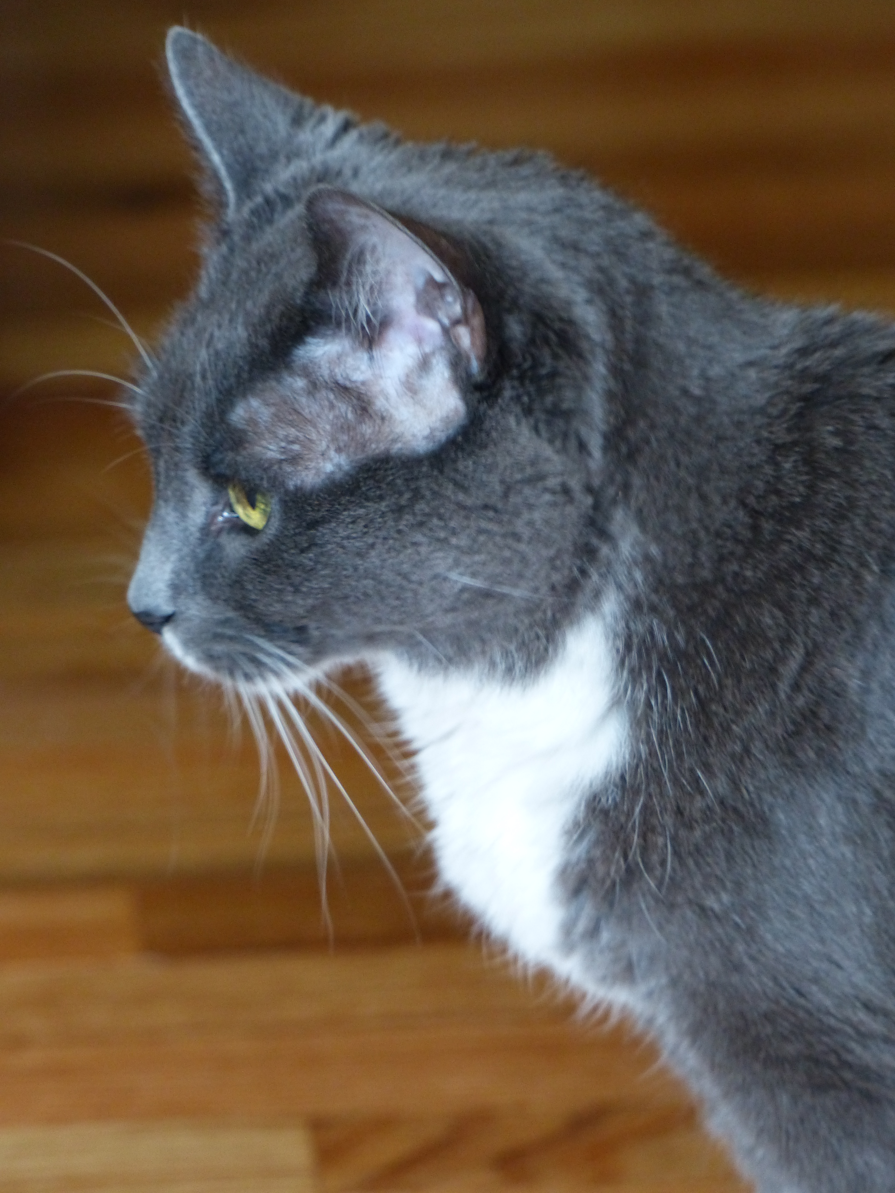 How To Treat Deaf Cat P