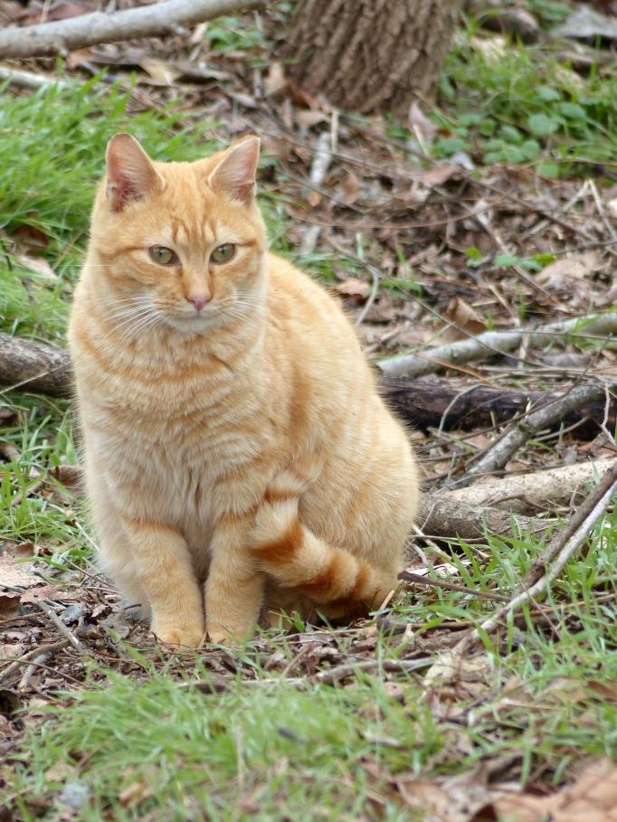 Orange colony cat