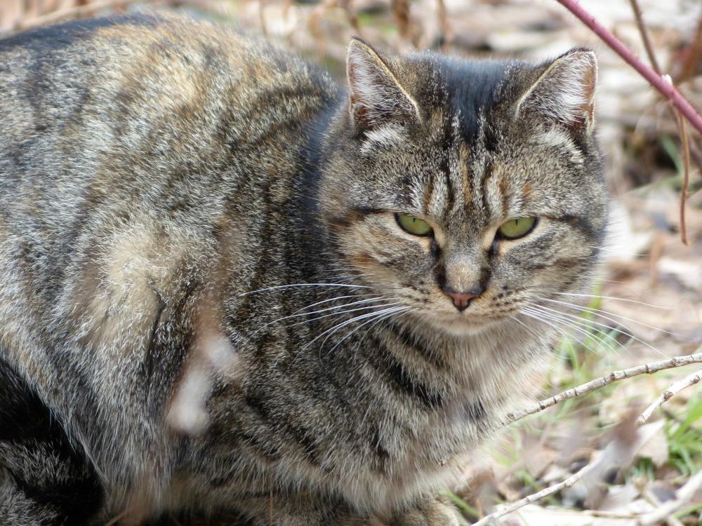 Tabby colony cat